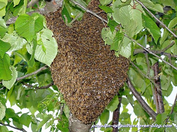 trouver reine abeille